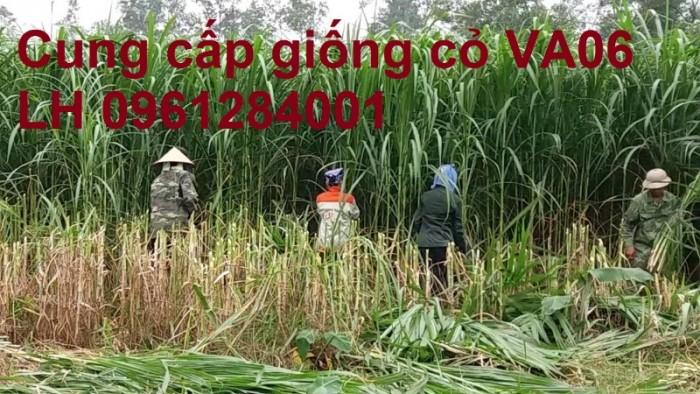 Giống cỏ VA06, hom giống VA06, cỏ ghi nê, cỏ sả, cỏ sữa, số lượng lớn, giao hàng toàn quốc4