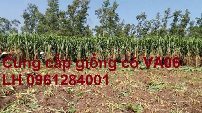 Giống cỏ VA06, hom giống VA06, cỏ ghi nê, cỏ sả, cỏ sữa, số lượng lớn, giao hàng toàn quốc6