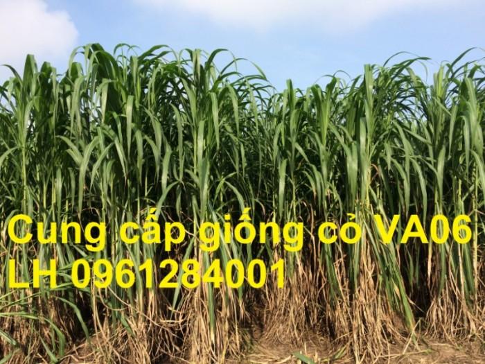 Giống cỏ VA06, hom giống VA06, cỏ ghi nê, cỏ sả, cỏ sữa, số lượng lớn, giao hàng toàn quốc7