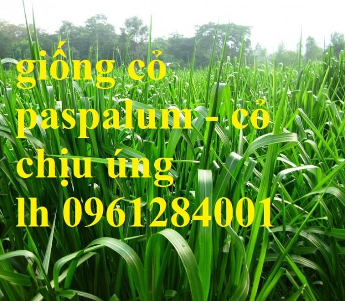 Giống cỏ VA06, hom giống VA06, cỏ ghi nê, cỏ sả, cỏ sữa, số lượng lớn, giao hàng toàn quốc13