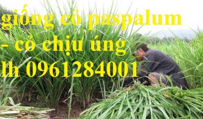 Giống cỏ VA06, hom giống VA06, cỏ ghi nê, cỏ sả, cỏ sữa, số lượng lớn, giao hàng toàn quốc8