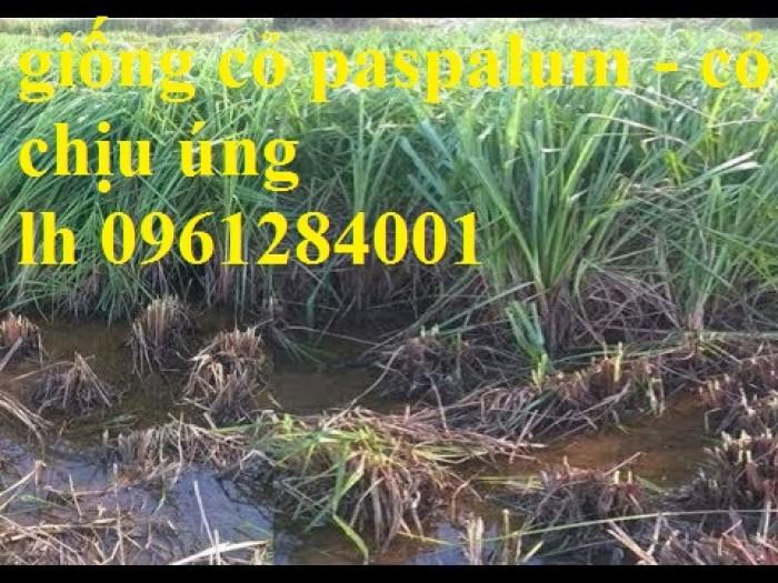 Giống cỏ VA06, hom giống VA06, cỏ ghi nê, cỏ sả, cỏ sữa, số lượng lớn, giao hàng toàn quốc9