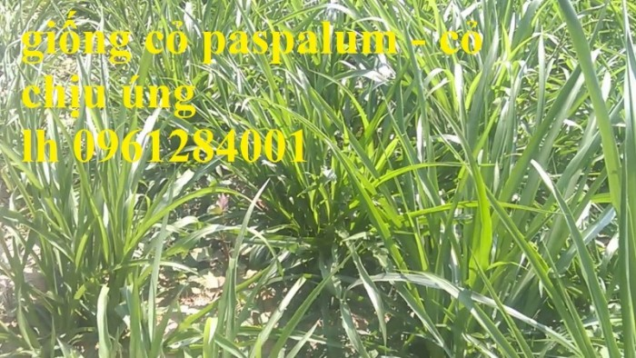 Giống cỏ VA06, hom giống VA06, cỏ ghi nê, cỏ sả, cỏ sữa, số lượng lớn, giao hàng toàn quốc10