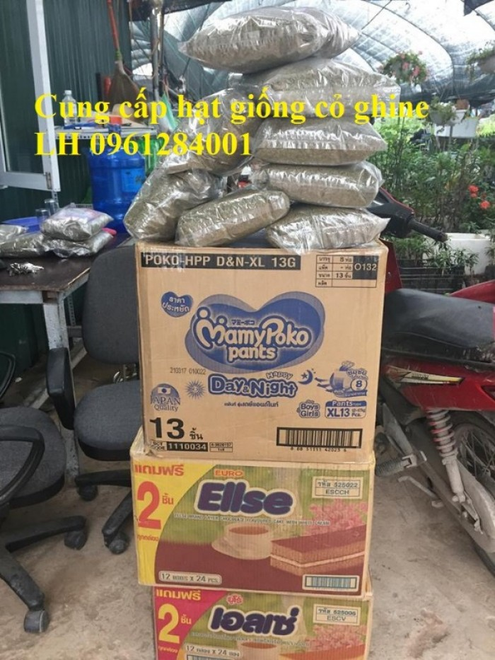 Giống cỏ VA06, hom giống VA06, cỏ ghi nê, cỏ sả, cỏ sữa, số lượng lớn, giao hàng toàn quốc21