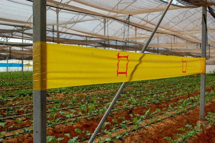Keo bẫy côn trùng nông nghiệp Israel, combo 20 mét, màu vàng 2 mặt10