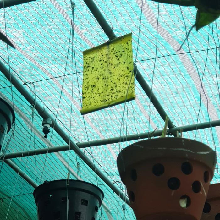 Keo Bẫy Ruồi Đục Sinh Học Israel (Combo 10 mét) và Bẫy bọ phấn trắng, bọ nhảy4