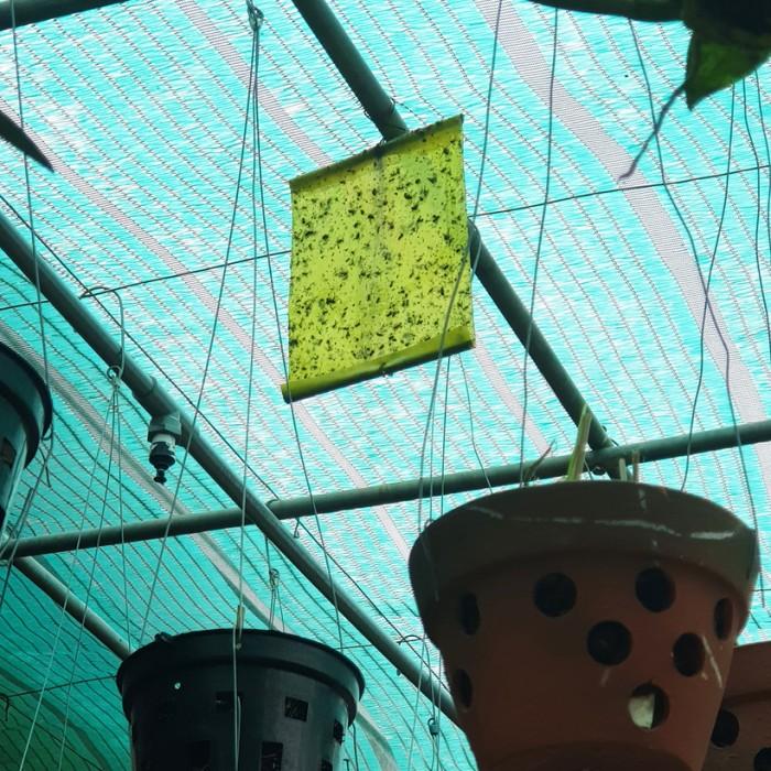 Keo Bẫy Ruồi Đục Sinh Học Israel (Combo 10 mét) và Bẫy bọ phấn trắng, bọ nhảy3