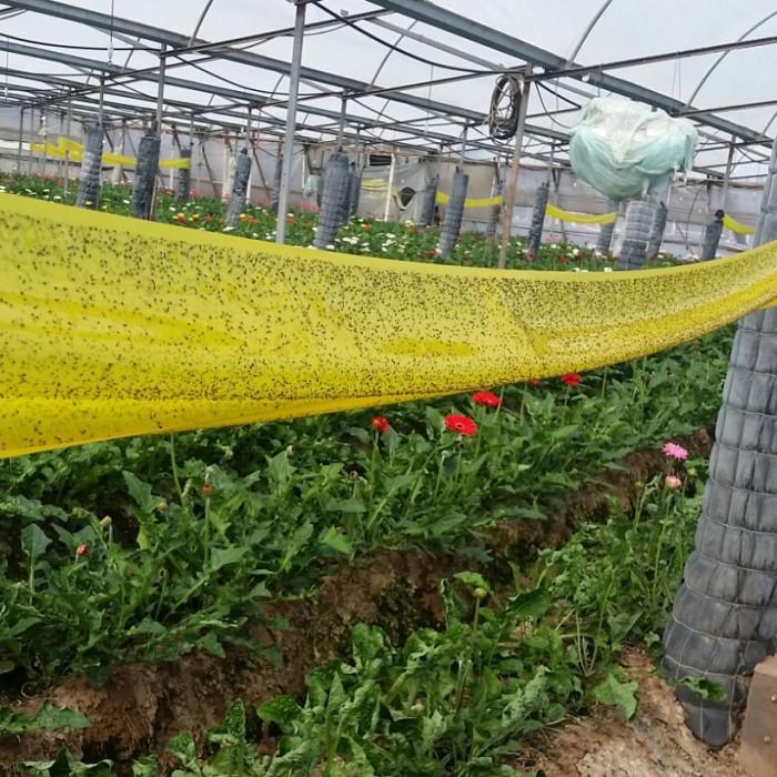 Keo Bẫy Ruồi Đục Sinh Học Israel (Combo 10 mét) và Bẫy bọ phấn trắng, bọ nhảy0