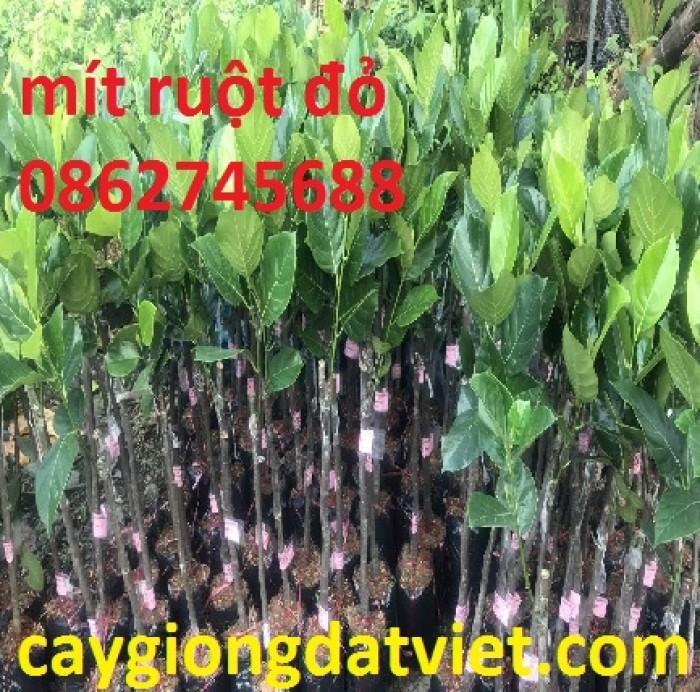 Cung cấp giống cây mít ruột đỏ. cây giống f1. giao hàng toàn quốc2