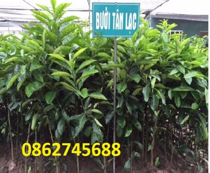 cung cấp giống cây Bưởi Tân Lạc. cây giống f1. giao hàng toàn quốc4