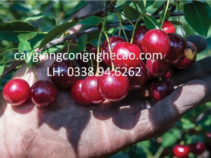 Cherry anh đào2