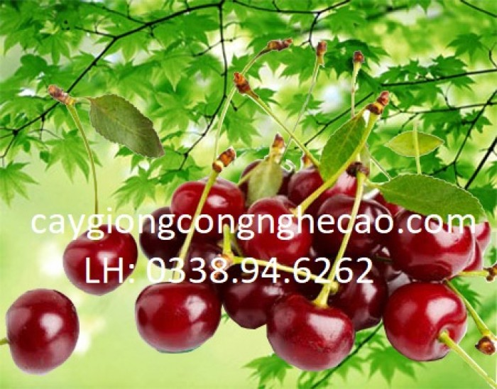 Cherry anh đào1