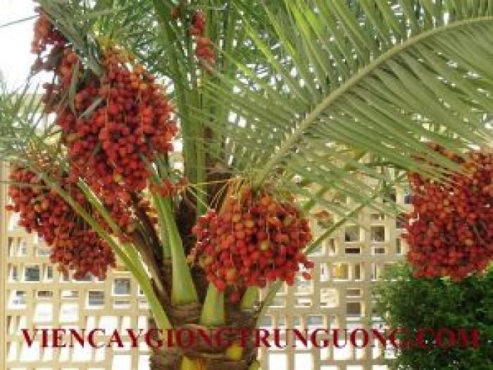 [2] Cung cấp giống cây chà là Thái Lan