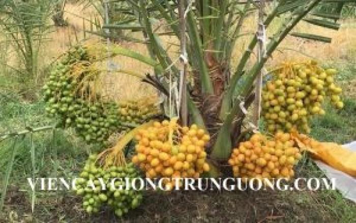 [3] Cung cấp giống cây chà là Thái Lan
