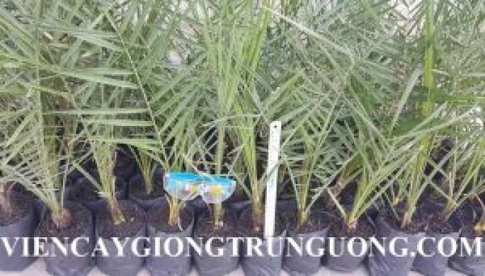 [1] Cung cấp giống cây chà là Thái Lan