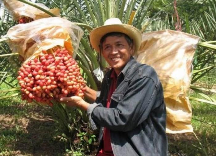[4] Cung cấp giống cây chà là Thái Lan