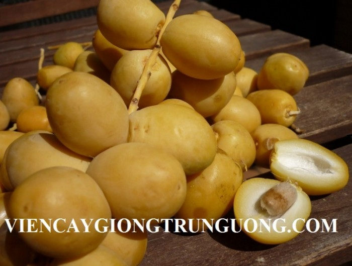 [5] Cung cấp giống cây chà là Thái Lan