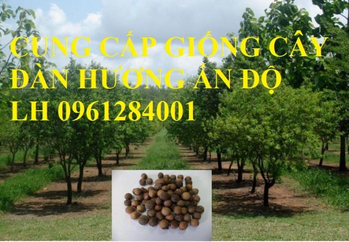 Cung cấp giống cây đàn hương Ấn Độ, đàn hương trắng, chuyển giao kỹ thuật trồng cây đàn hương
