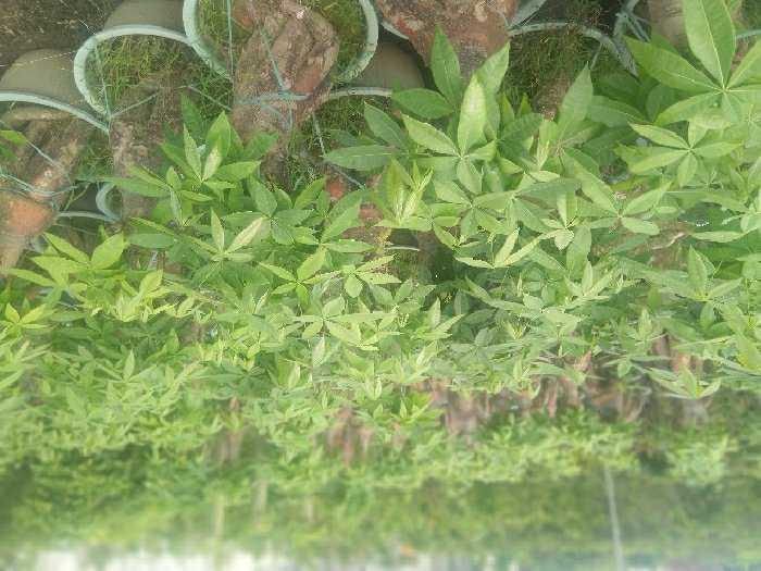 Kim ngân bonsai