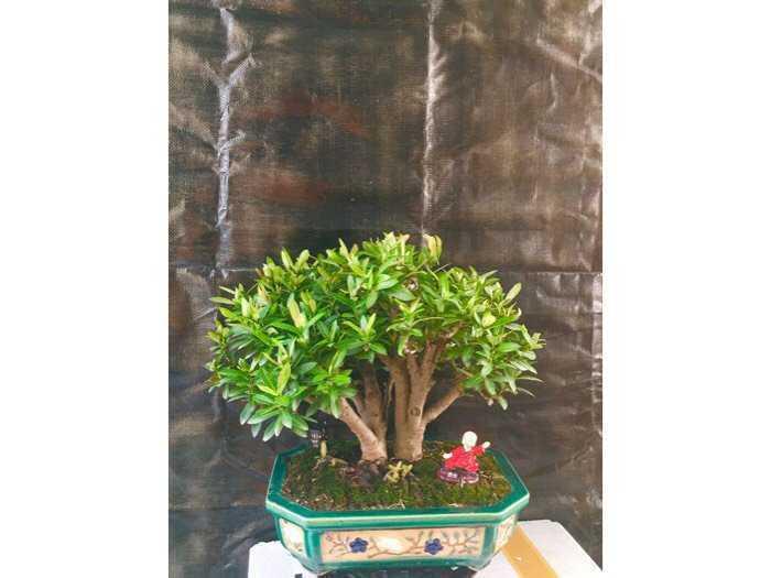 bonsai trang đỏ0