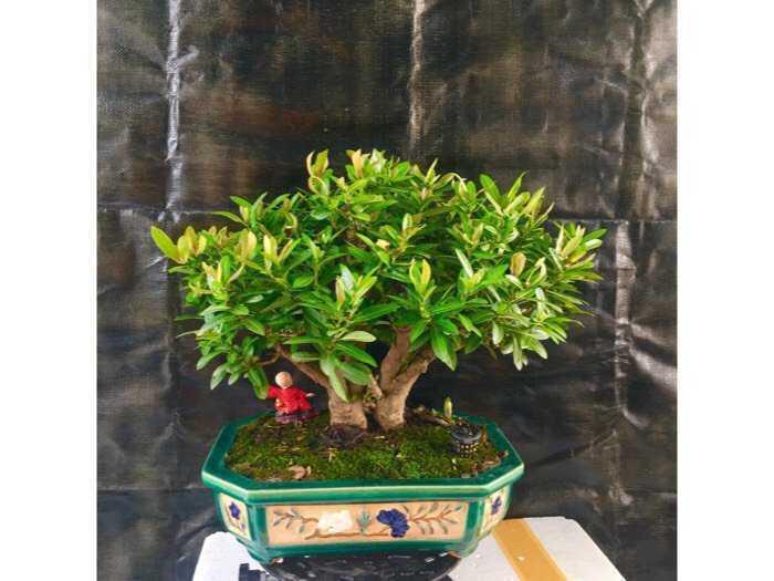 bonsai trang đỏ1