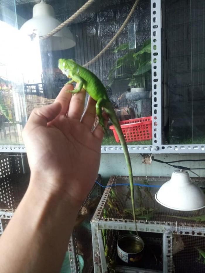 green iguana baby2