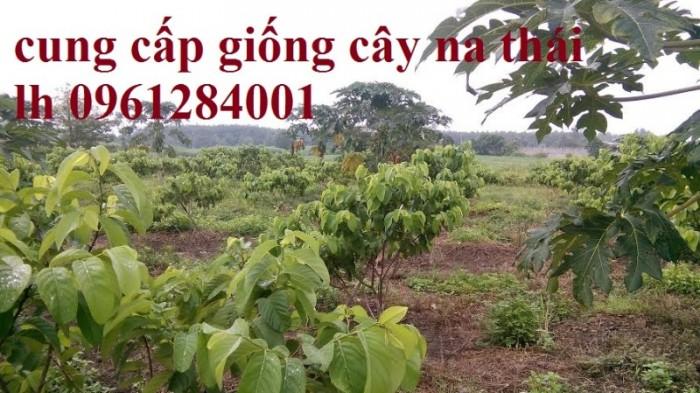 Chuyên cung cấp cây giống na Thái Lan, cam kết chất lượng, giao cây toàn quốc.10