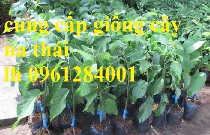 Chuyên cung cấp cây giống na Thái Lan, cam kết chất lượng, giao cây toàn quốc.12