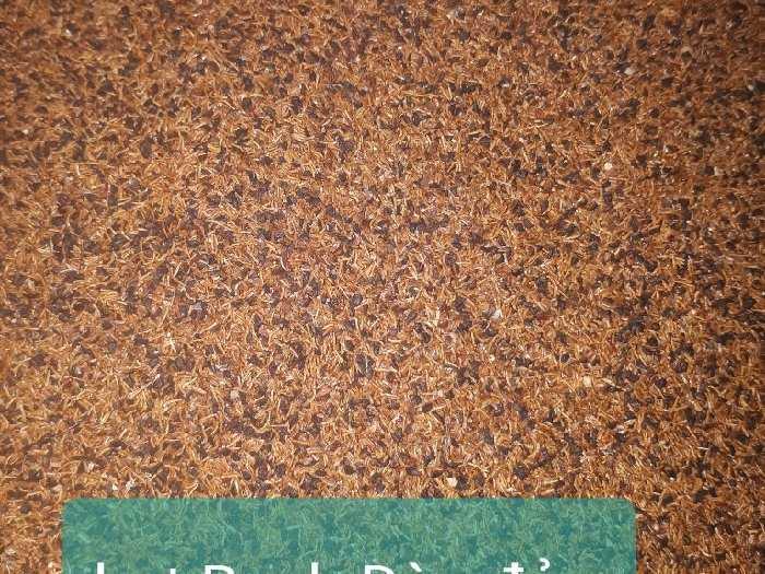 Bán hạt giống Bạch Đàn đỏ1