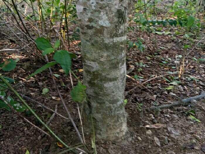 cần bán gấp hơn 8ha trồng gỗ Xưa và Mía.
