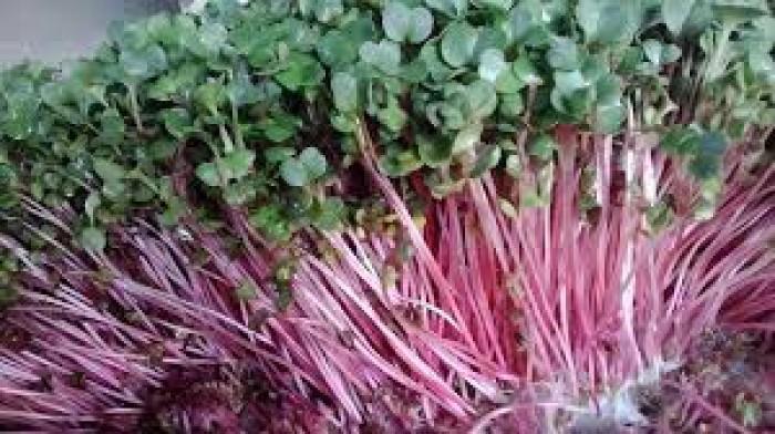 Hạt rau giống bó xôi chịu nhiệt, diếp thơm, húng quế, mầm cải đỏ, cải trắng, mầm đậu Hà Lan, mùi cồn tía, rau muống lá tre, tía tô0