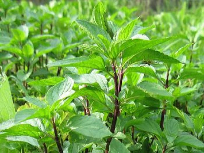 Hạt rau giống bó xôi chịu nhiệt, diếp thơm, húng quế, mầm cải đỏ, cải trắng, mầm đậu Hà Lan, mùi cồn tía, rau muống lá tre, tía tô9
