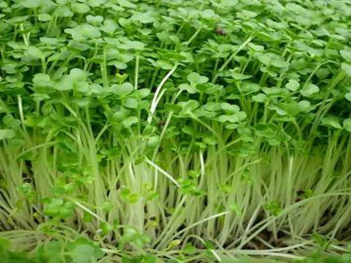 Hạt rau giống bó xôi chịu nhiệt, diếp thơm, húng quế, mầm cải đỏ, cải trắng, mầm đậu Hà Lan, mùi cồn tía, rau muống lá tre, tía tô4