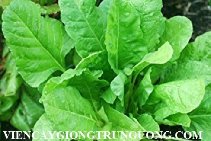 Hạt rau giống bó xôi chịu nhiệt, diếp thơm, húng quế, mầm cải đỏ, cải trắng, mầm đậu Hà Lan, mùi cồn tía, rau muống lá tre, tía tô5