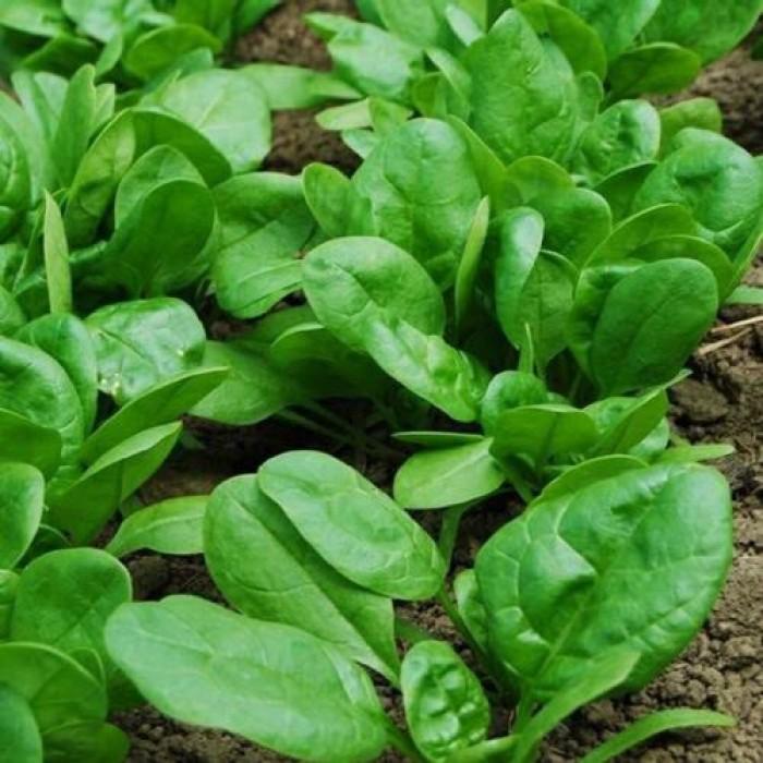 Hạt rau giống bó xôi chịu nhiệt, diếp thơm, húng quế, mầm cải đỏ, cải trắng, mầm đậu Hà Lan, mùi cồn tía, rau muống lá tre, tía tô10