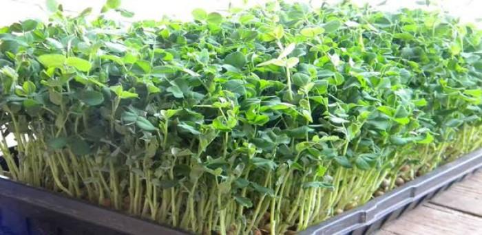 Hạt rau giống bó xôi chịu nhiệt, diếp thơm, húng quế, mầm cải đỏ, cải trắng, mầm đậu Hà Lan, mùi cồn tía, rau muống lá tre, tía tô2