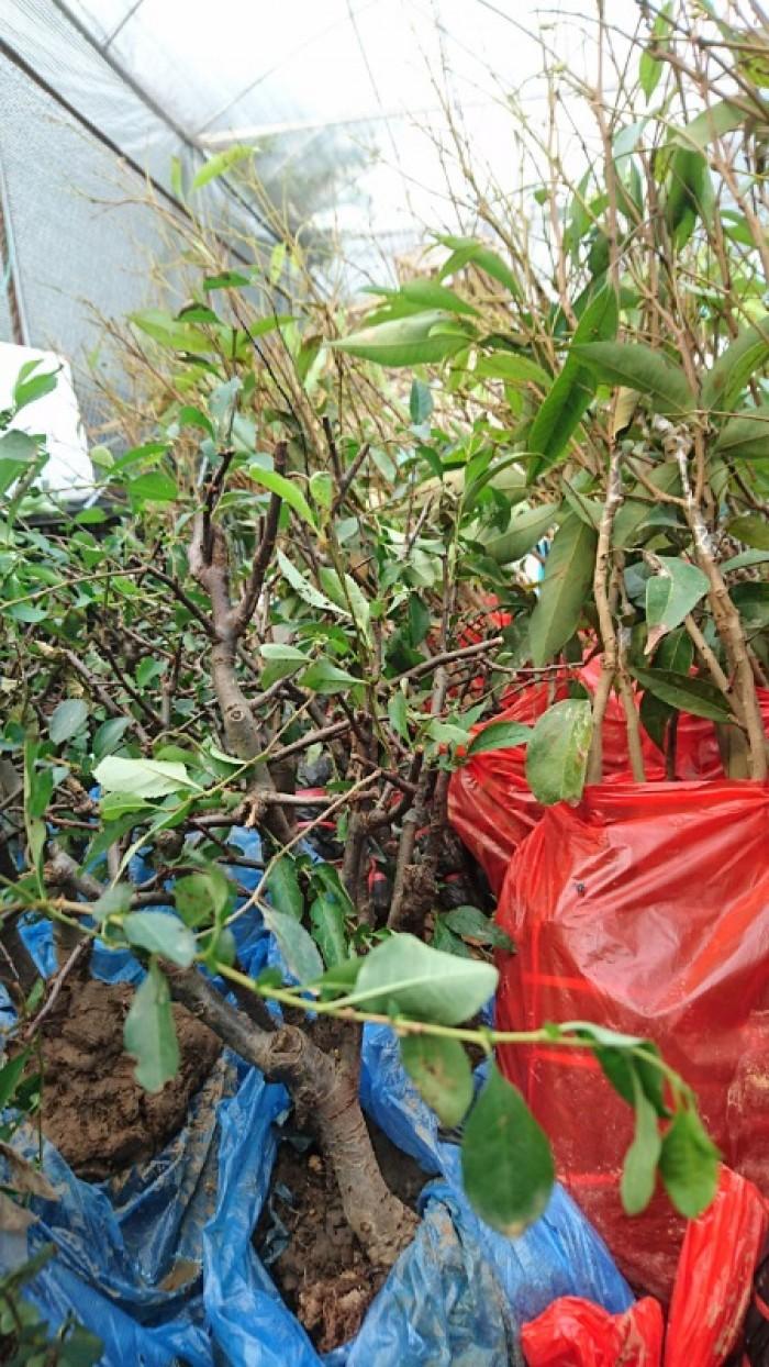 Cung cấp mai đỏ cho tết 2020, mai đỏ nhật, mai đỏ bonsai6