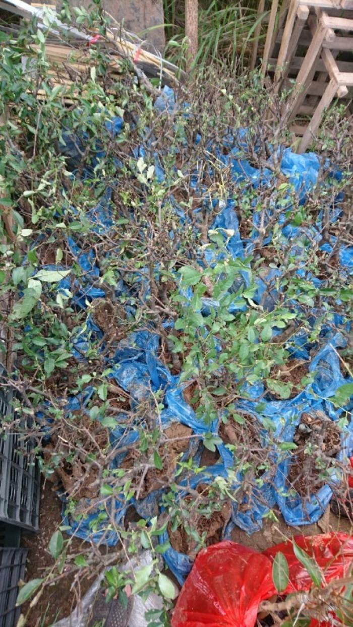 Cung cấp mai đỏ cho tết 2020, mai đỏ nhật, mai đỏ bonsai3