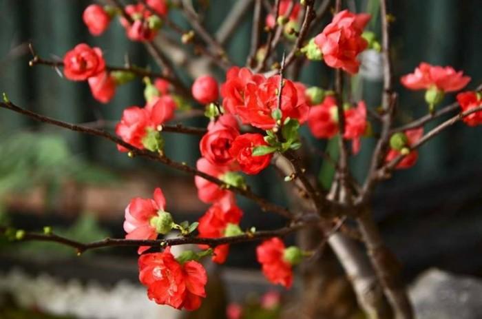 Cung cấp mai đỏ cho tết 2020, mai đỏ nhật, mai đỏ bonsai1
