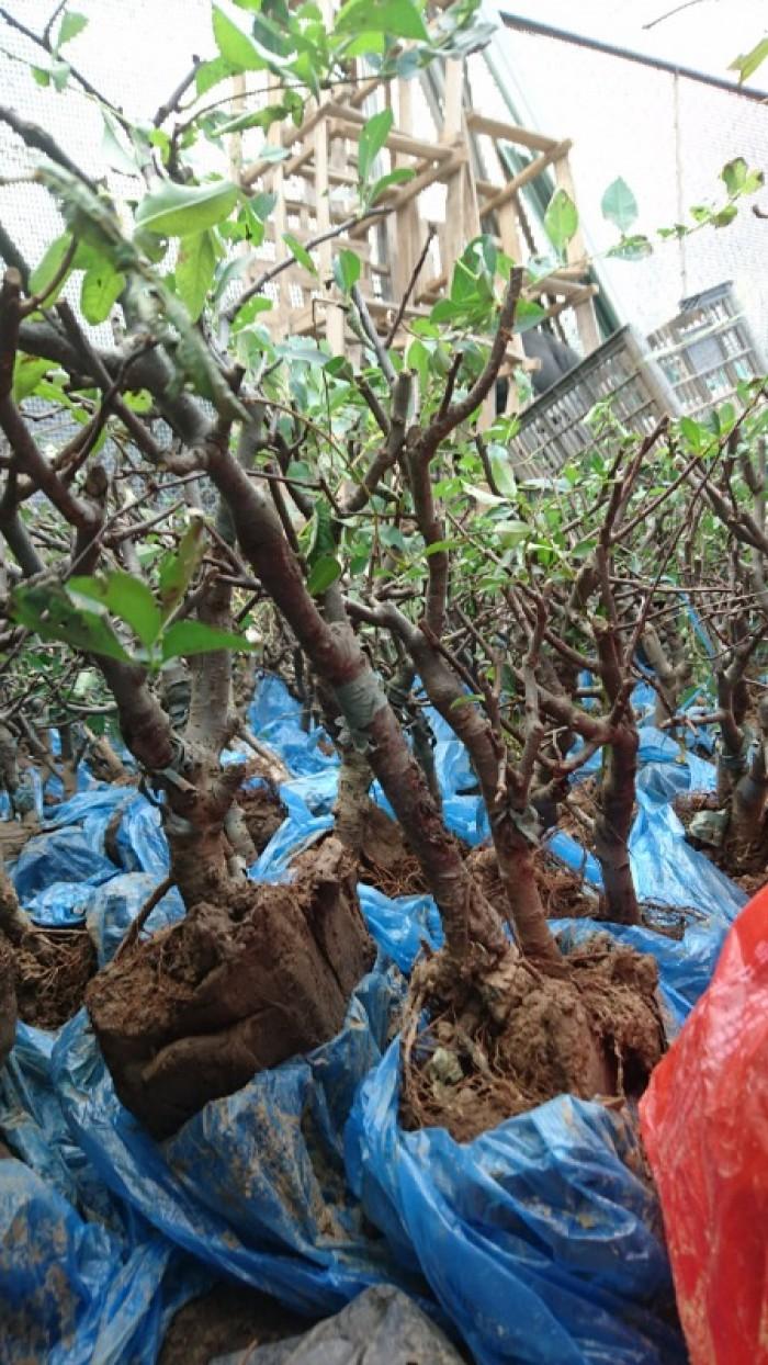 Cung cấp mai đỏ cho tết 2020, mai đỏ nhật, mai đỏ bonsai7