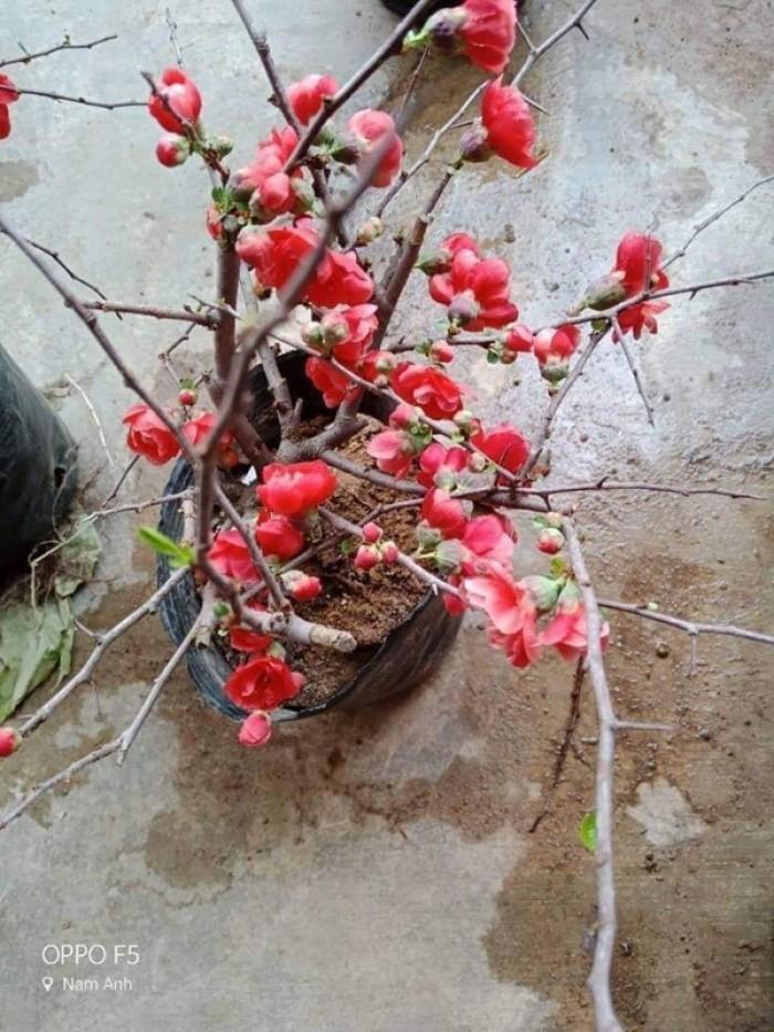 Cung cấp mai đỏ cho tết 2020, mai đỏ nhật, mai đỏ bonsai2