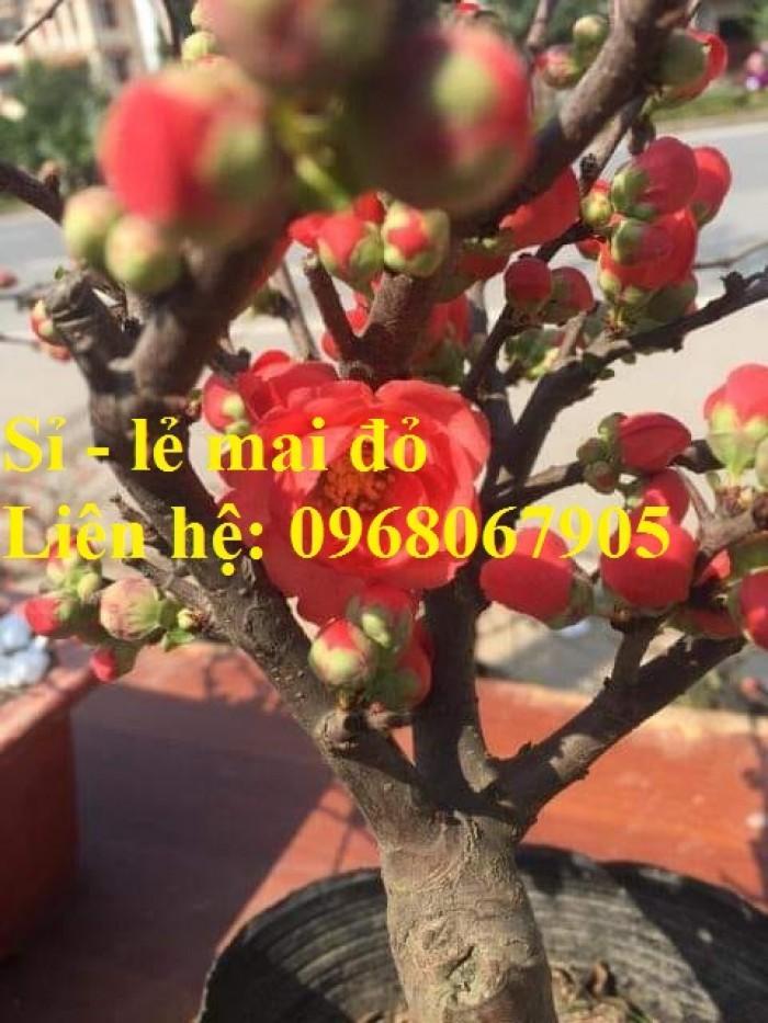 Cung cấp mai đỏ cho tết 2020, mai đỏ nhật, mai đỏ bonsai11