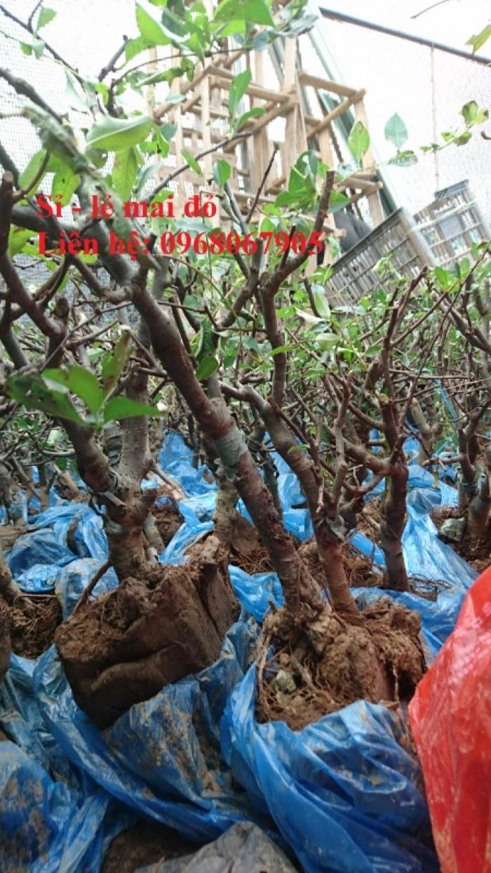 Cung cấp mai đỏ cho tết 2020, mai đỏ nhật, mai đỏ bonsai12