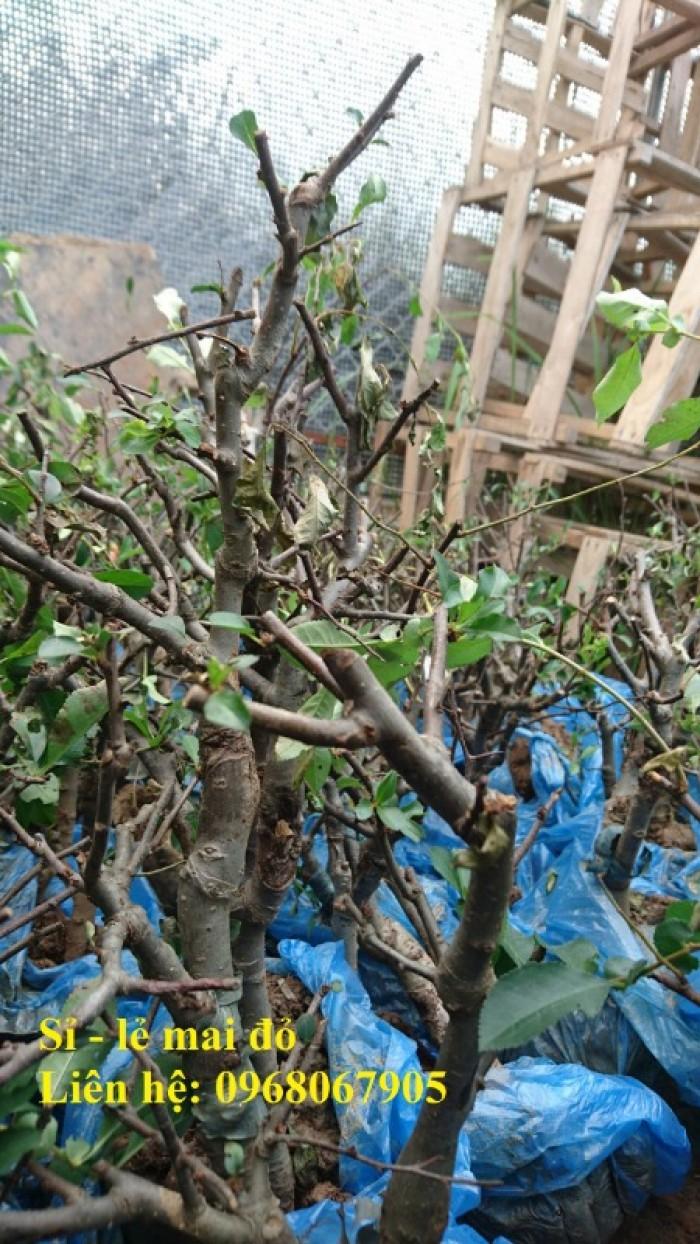 Cung cấp mai đỏ cho tết 2020, mai đỏ nhật, mai đỏ bonsai16