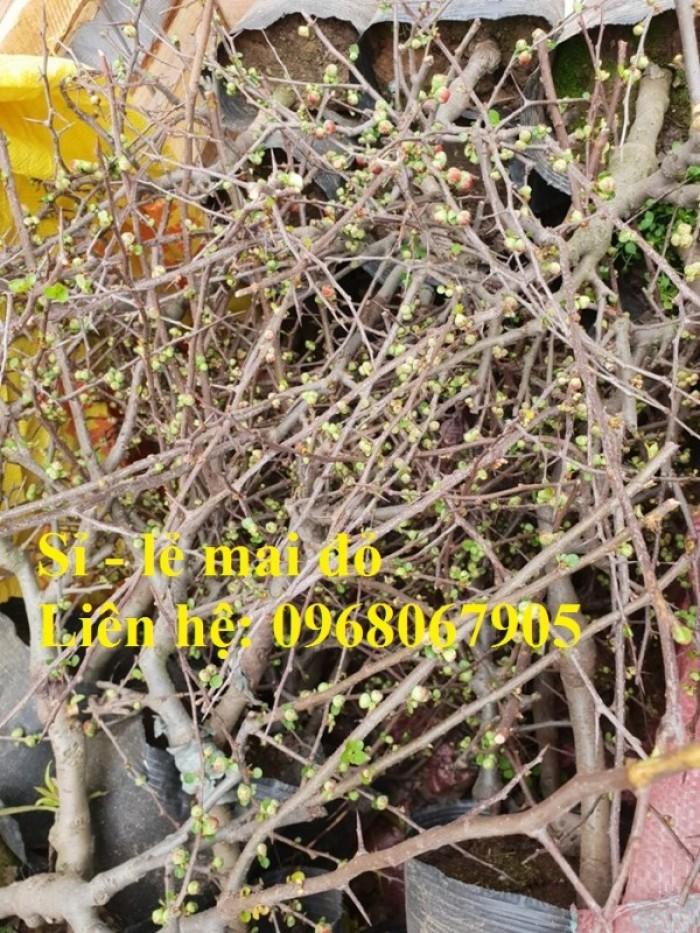 Cung cấp mai đỏ cho tết 2020, mai đỏ nhật, mai đỏ bonsai15