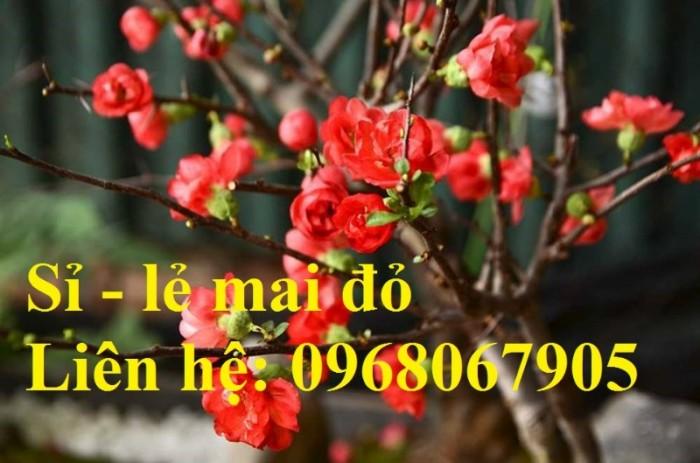 Cung cấp mai đỏ cho tết 2020, mai đỏ nhật, mai đỏ bonsai9