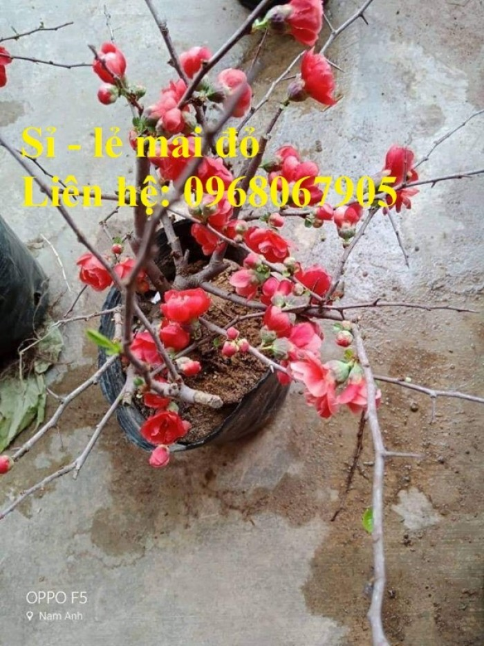 Cung cấp mai đỏ cho tết 2020, mai đỏ nhật, mai đỏ bonsai13