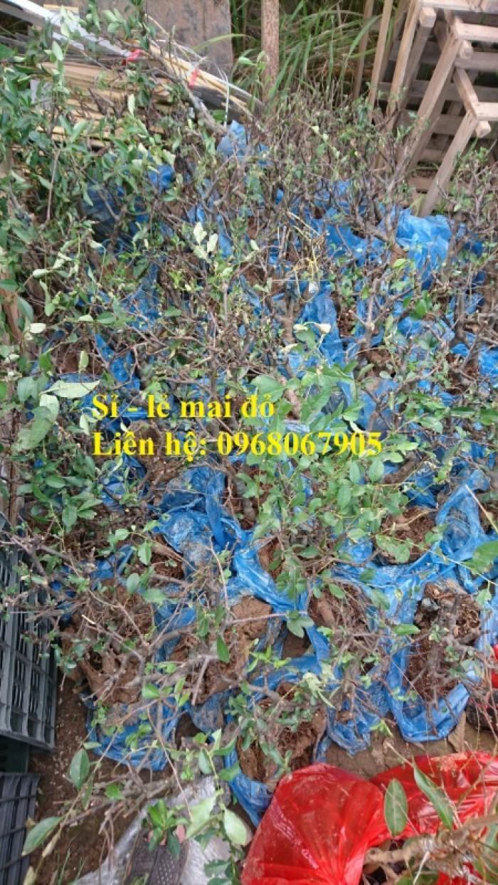 Cung cấp mai đỏ cho tết 2020, mai đỏ nhật, mai đỏ bonsai17