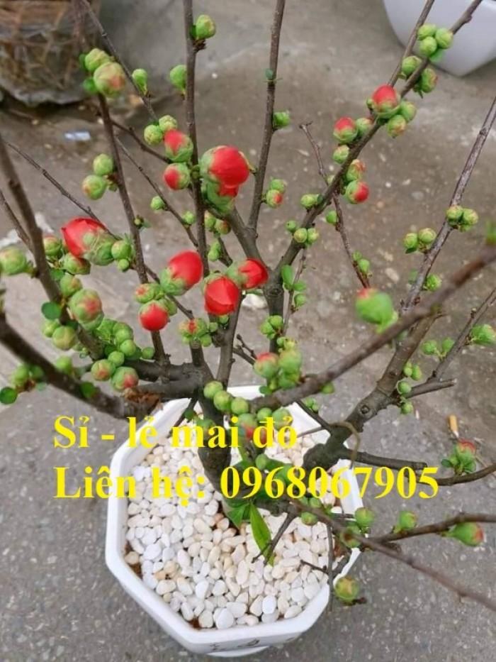 Cung cấp mai đỏ cho tết 2020, mai đỏ nhật, mai đỏ bonsai18