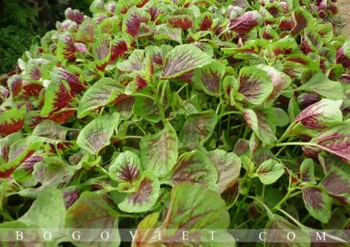 Cung cấp hạt giống rau dền2